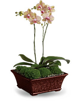 Divine Orchid Plant Teleflora