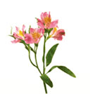 alstroemeria - Common Flowers In Arrangements