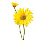 Chrysanthemum spray (daisy)