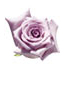 lilac & purple roses