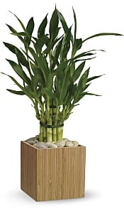 Good Luck Bamboo Plants
