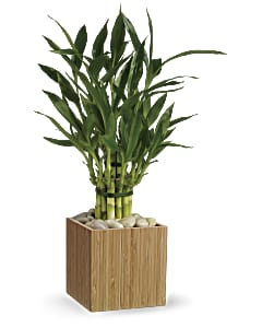 Shop Teleflora's Good Luck Bamboo Plant