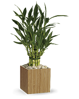 Bambou porte-bonheur de Teleflora – Plante