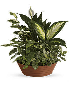 Plante Paisible évasion