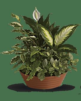 Serene Retreat Plant