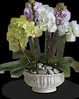 Regal Orchids Plant Teleflora