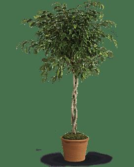 Ficus tressé – plante