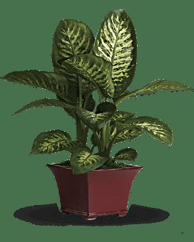 Delightful Dieffenbachia Plant
