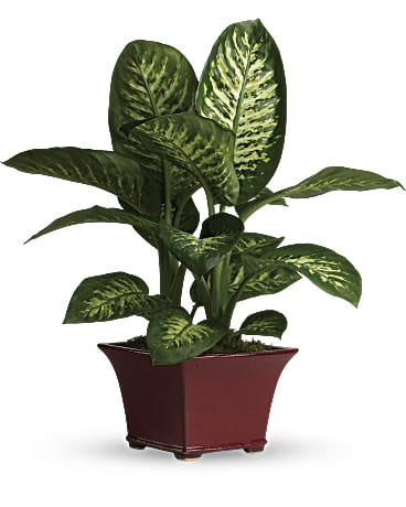 Delightful ffenbachia on house slugs, house decorations, house vines, house flowers, house fire, house home, house mites, house nature, house design, house people, house crafts, house family, house gifts, house plans, house rodents, house cars, house candy, house ferns, house chemicals, house stars,
