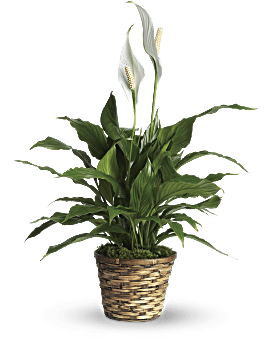 Simply Elegant Spathiphyllum - Small Plant