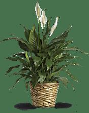 Simply Elegant Spathiphyllum - Medium Plants
