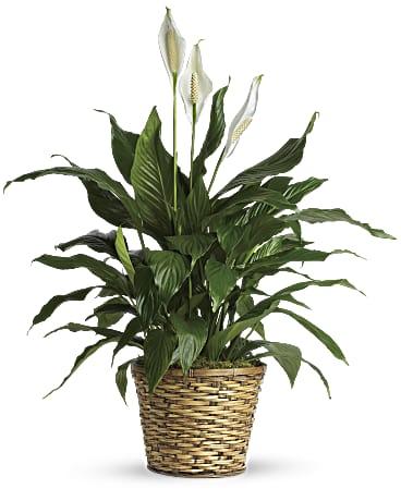 Simply Elegant Spathiphyllum Medium Plant Teleflora