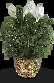 Simply Elegant Spathiphyllum - Large Plants