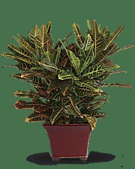 Stately Croton Plant