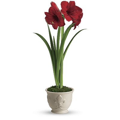 Shop for Amaryllis