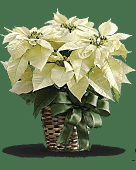 White Poinsettia Bouquet
