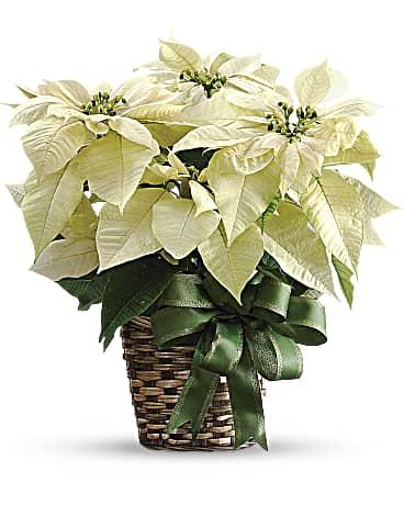 White Poinsettia Bouquet Teleflora