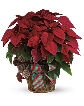 quick view large red poinsettia bouquet - Red Christmas Flowers