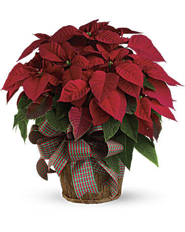 Large Red Poinsettia Bouquet Teleflora