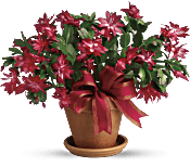 Merry Christmas Cactus Plants