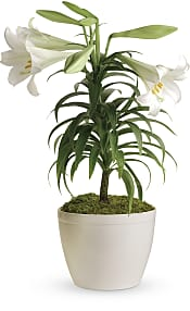 Easter Lily  Plants