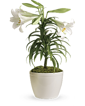 Easter Lily Plant Plant