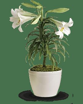 Plante de lys de Pâques