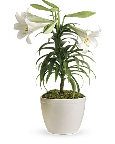 Easter Lily Plant - Teleflora on pineapple plant house plant, dragon plant, black gold lily plant, zamiifolia house plant, croton house plant, peace lily plant benefits, problems with peace lily plant, artificial bamboo house plant, black bamboo potted plant, peace lily family plant, peace lily potted plant, classic peace lily plant, chinese evergreen house plant, marginata house plant, weeping fig house plant, peace plant brown leaves, holly house plant, white and green leaves house plant, funeral peace lily plant, droopy peace lily plant,