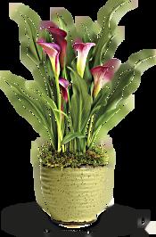 Teleflora's Spring Calla Lily  Plants