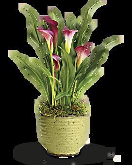 teleflora s spring calla lily plant teleflora