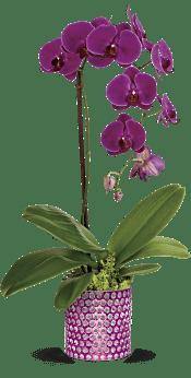 Teleflora's Dazzling Orchid Plants
