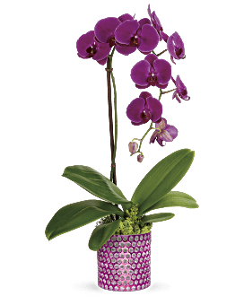 Teleflora's Dazzling Orchid Plant