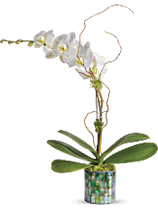 Teleflora's Stained Glass Orchid Plants
