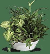 Medium Dish Garden Plants