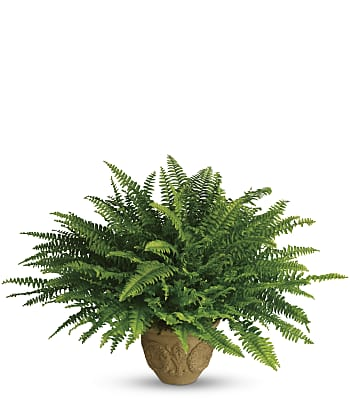Teleflora's Heartwarming Thoughts Boston Fern Flowers