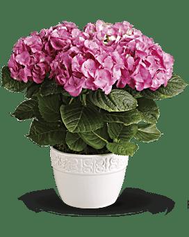 Hydrangée gaieté – plante rose