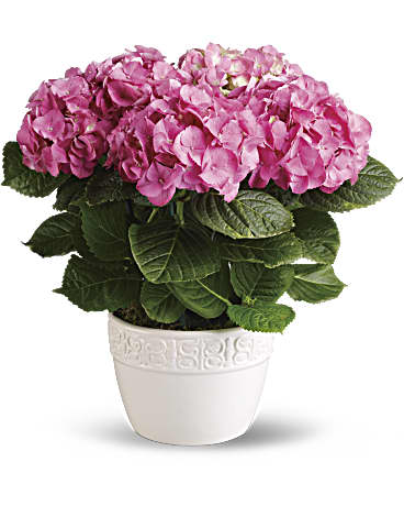https://img.teleflora.com/images/o_0/l_flowers:T89-1A,pg_6/w_368,h_460,cs_no_cmyk,c_pad/f_jpg,q_auto:eco,e_sharpen:200/flowers/T89-1A/HappyHydrangea-Pink