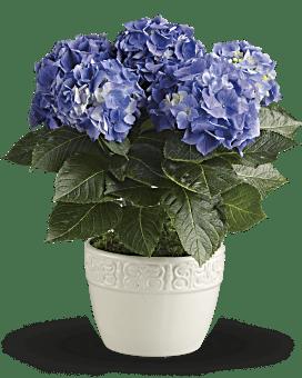 Hydrangée gaieté – Plante bleue