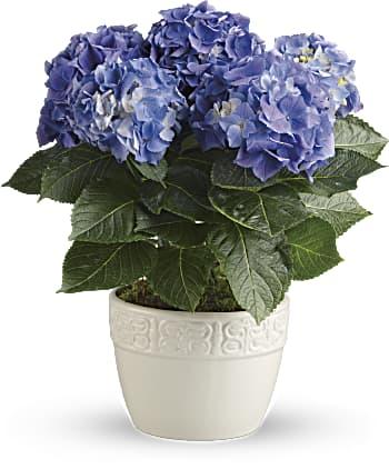 Happy Hydrangea
