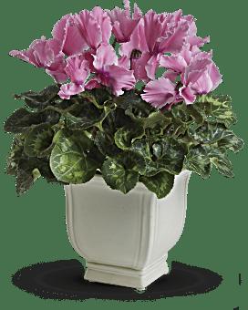 Cyclamen ensoleillé – plante