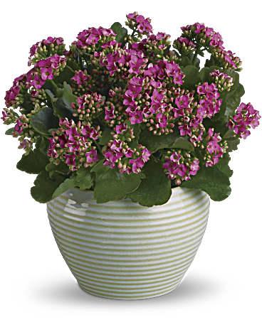 Bountiful Kalanchoe Plant - Teleflora on solanum blooming plant, orchids blooming plant, kalanchoe blooming time, violet blooming plant,