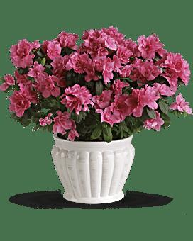 Azalée Jolie en rose, plante