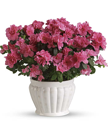 Pretty In Pink Azalea Plants