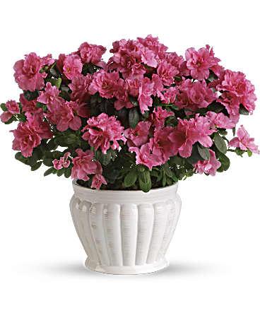 Pretty in pink azalea plant teleflora pretty in pink azalea plant mightylinksfo