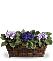 Sweet Violet Trio Plants