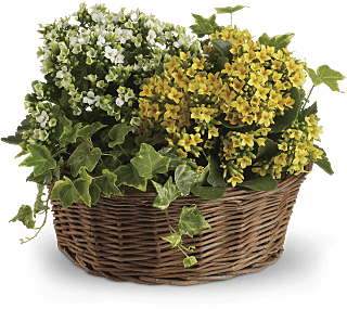 kalanchoe and ivy plant gift Basket of Joy