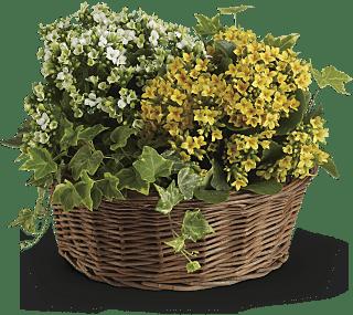 kalanchoe and ivy plant gift Basket of Joy