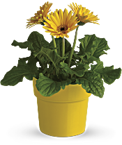 Rainbow Rays Potted Gerbera - Yellow Plants