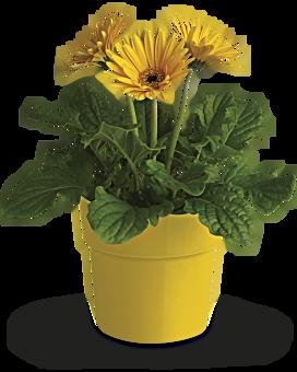 Rainbow rays potted gerbera yellow plant teleflora 10 14 w mightylinksfo