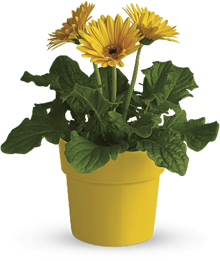 Rainbow Rays - Yellow Potted Gerbera